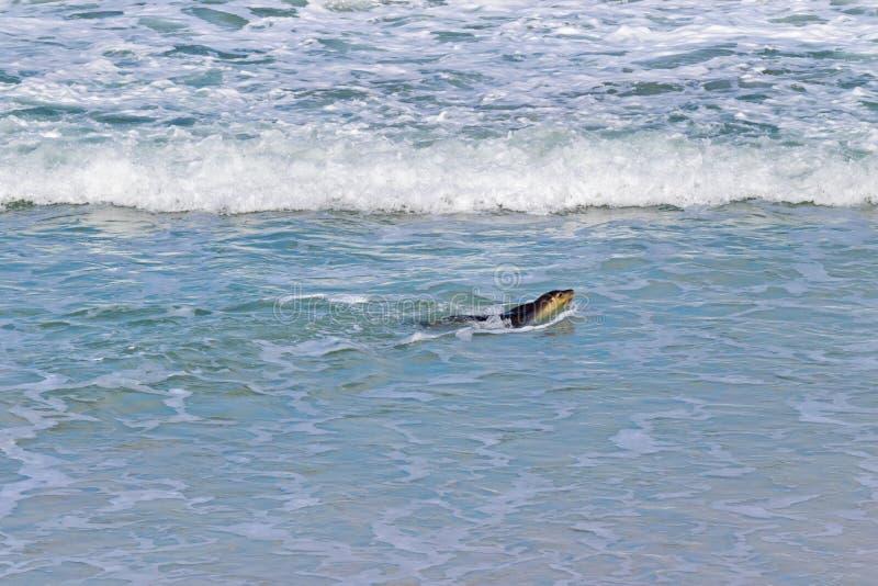 Αυστραλιανό λιοντάρι θάλασσας που κολυμπά στον κόλπο σφραγίδων, αποικία λιονταριών θάλασσας, Kanga στοκ εικόνες