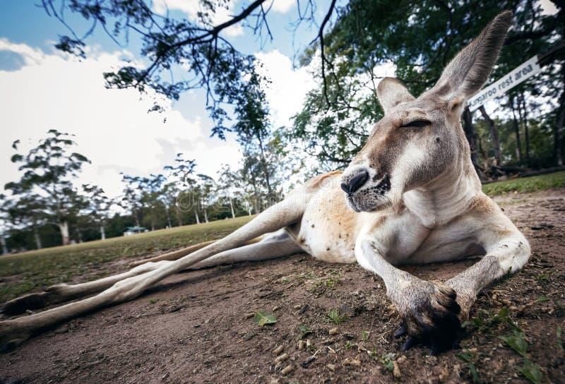 αυστραλιανό καγκουρό στοκ φωτογραφία