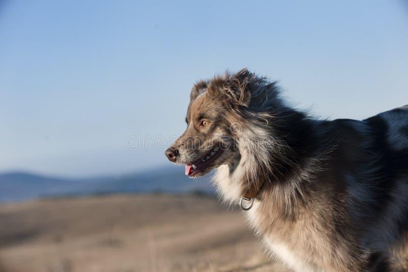 Αυστραλιανό σκυλί ποιμένων στη φύση στοκ εικόνες με δικαίωμα ελεύθερης χρήσης
