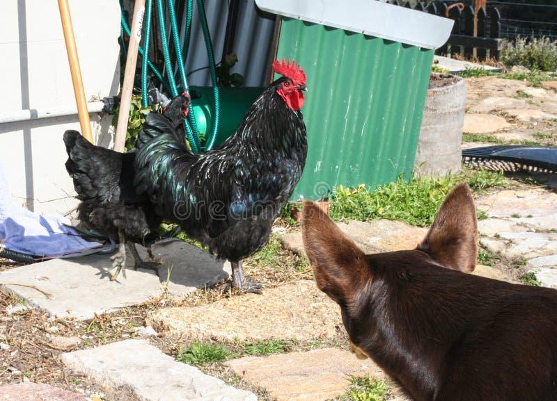 Αυστραλιανό kelpie με την κότα και τον κόκκορα στοκ φωτογραφία