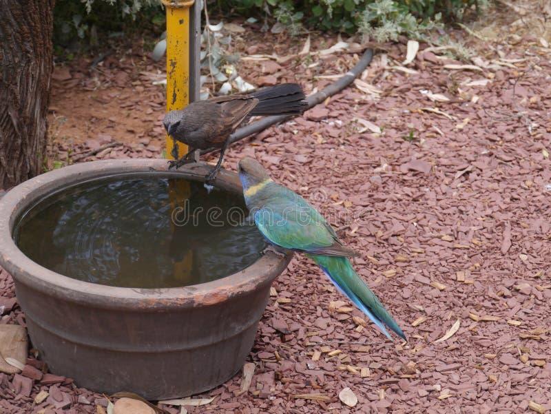 Αυστραλιανό Ringneck και ένα πουλί αποστόλων στοκ εικόνες