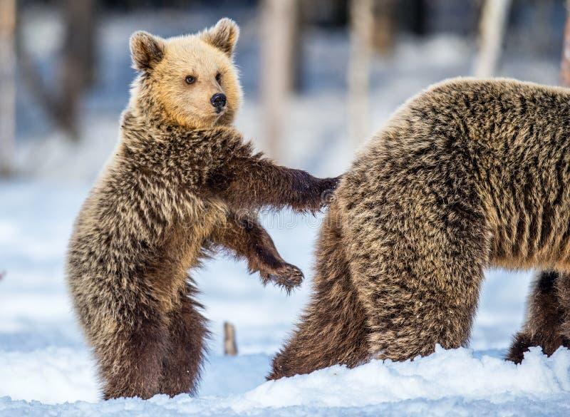 Αυτή-αρκούδα και Cub στο χιόνι Αφορτε cub στεμένος τα οπίσθια πόδια του Καφετιές αρκούδες στο χειμερινό δασικό φυσικό βιότοπο Επι στοκ φωτογραφία με δικαίωμα ελεύθερης χρήσης