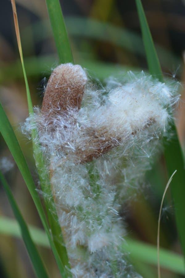 Αυτί του cattail στοκ εικόνες