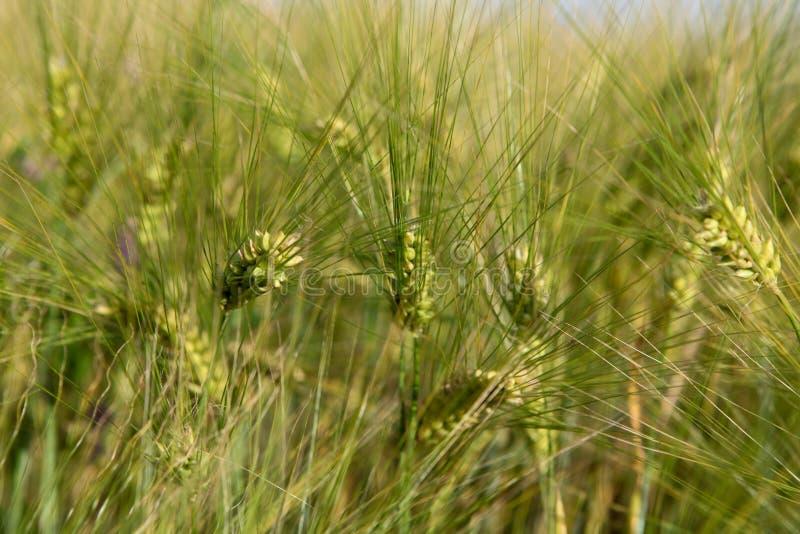 Αυτιά της κινηματογράφησης σε πρώτο πλάνο σίτου σε έναν πράσινο τομέα στοκ εικόνα