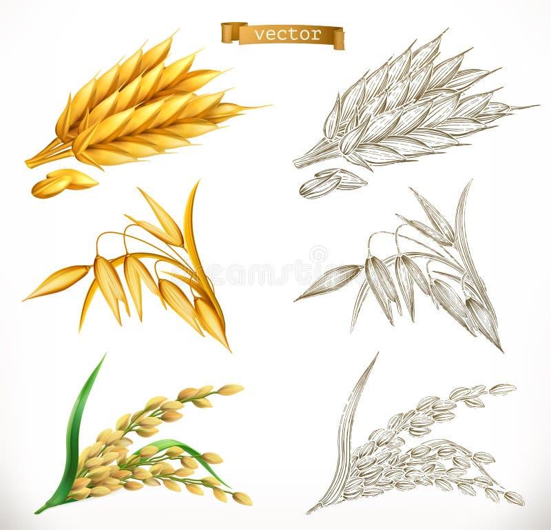 Αυτιά του σίτου, βρώμες, ρύζι τρισδιάστατες μορφές ρεαλισμού και χάραξης διάνυσμα διανυσματική απεικόνιση