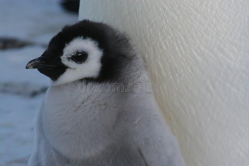 αυτοκράτορας νεοσσών penguin στοκ φωτογραφία