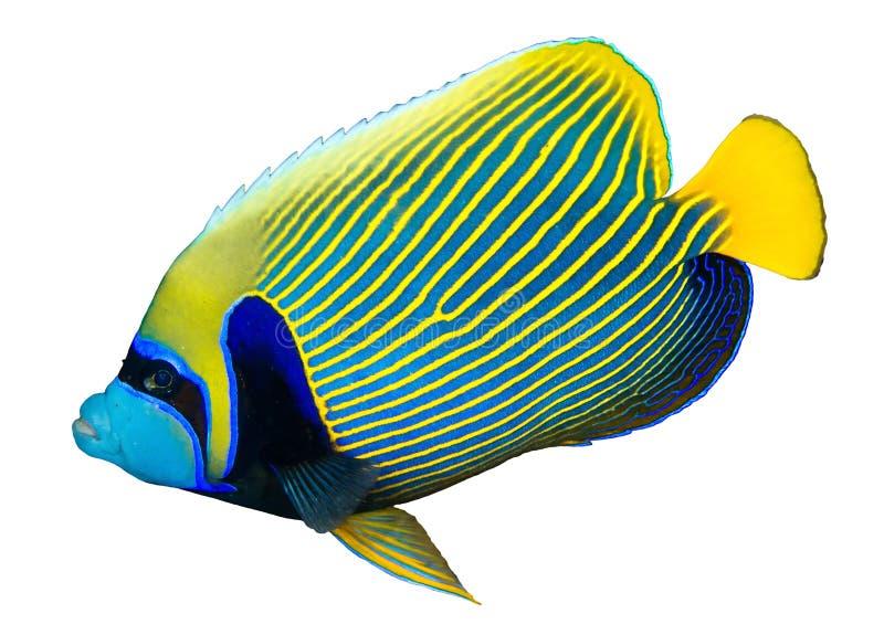 Αυτοκράτορας angelfish στοκ φωτογραφίες