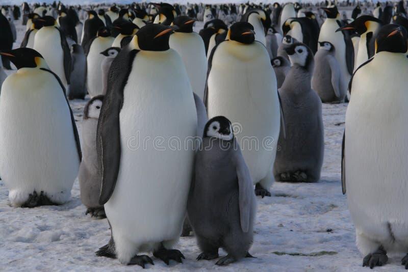 αυτοκράτορας penguins στοκ εικόνες με δικαίωμα ελεύθερης χρήσης