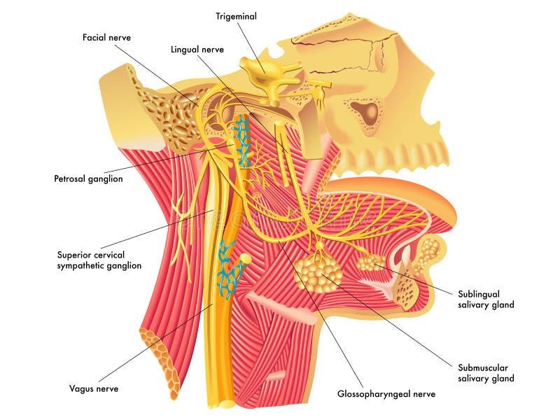 Αυτόνομα νεύρα στο κεφάλι διανυσματική απεικόνιση