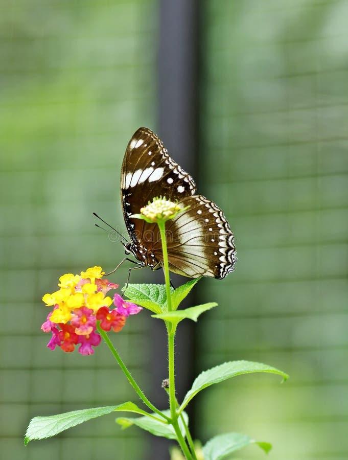 Μια άσπρος-επισημασμένη πεταλούδα στοκ φωτογραφία