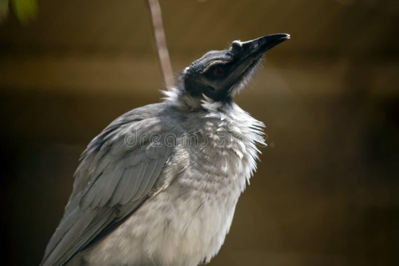Αυτό είναι στενό ένα επάνω ενός θορυβώδους friar πουλιού στοκ φωτογραφίες με δικαίωμα ελεύθερης χρήσης