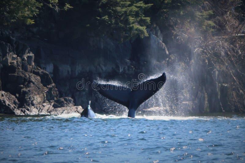 Αυτό ` s μια φάλαινα μιας ουράς ιστορίας Φάλαινα Humpback στοκ φωτογραφία με δικαίωμα ελεύθερης χρήσης