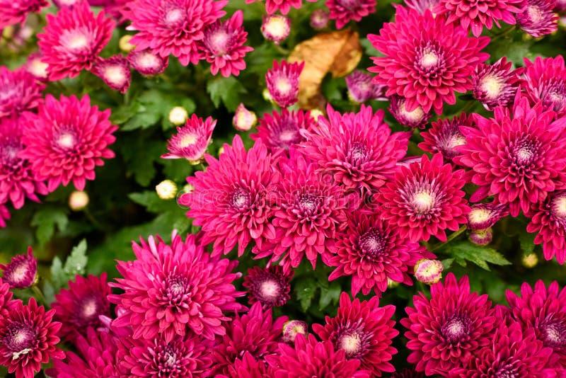 αφηρημένα λουλούδια χρώματος χρυσάνθεμων ανασκόπησης στοκ εικόνα
