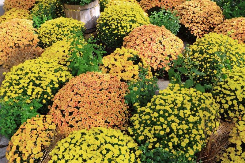 αφηρημένα λουλούδια χρώματος χρυσάνθεμων ανασκόπησης στοκ εικόνες