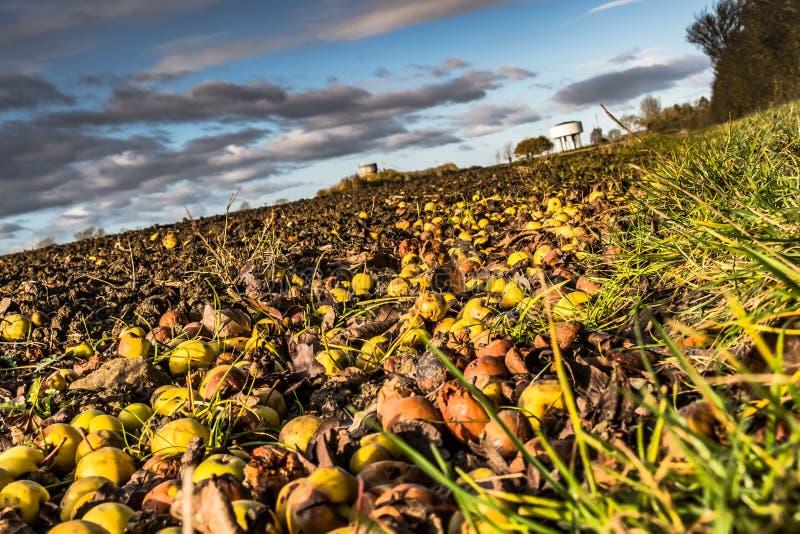 Αφηρημένη άποψη των πεσμένων φρούτων μήλων καβουριών που βλέπουν στην άκρη ενός μεγάλου τομέα, που βλέπει το φθινόπωρο στοκ εικόνα