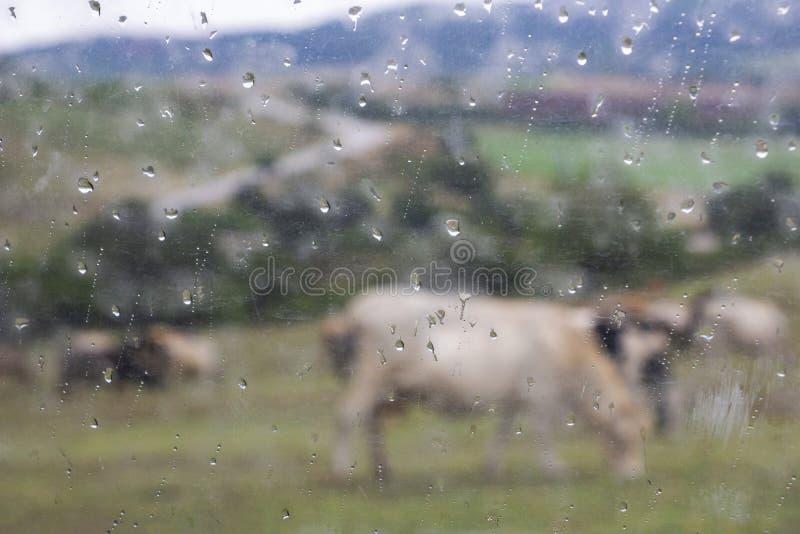 Αφηρημένη εικόνα ενός κοπαδιού των αγελάδων σε ένα λιβάδι στο πόδι ενός βουλγαρικού λόφου Rhodopes όπως βλέπει μέσω ενός υγρού πα στοκ φωτογραφίες με δικαίωμα ελεύθερης χρήσης