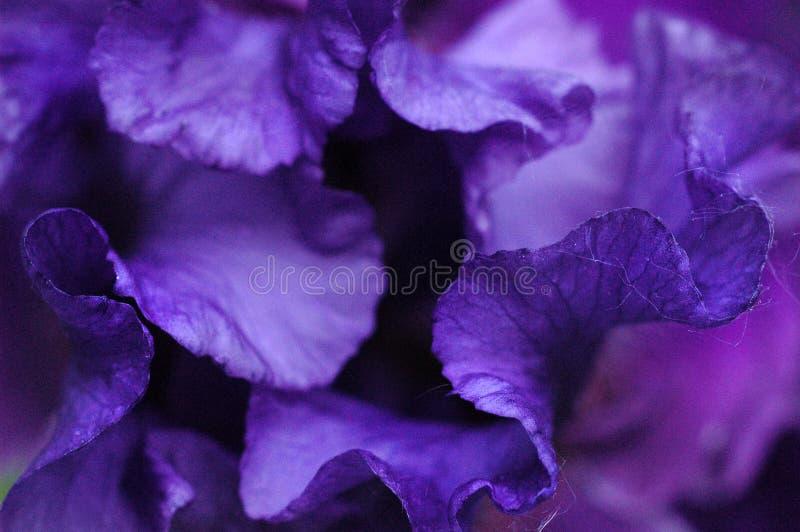 Αφηρημένη πορφυρή διπλωμένη η Iris κινηματογράφηση σε πρώτο πλάνο πετάλων στοκ εικόνες