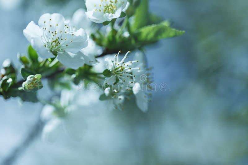Αφηρημένο εποχιακό υπόβαθρο άνοιξη με τα άσπρα λουλούδια, φυσική floral εικόνα Πάσχας με το διάστημα αντιγράφων στοκ εικόνα με δικαίωμα ελεύθερης χρήσης