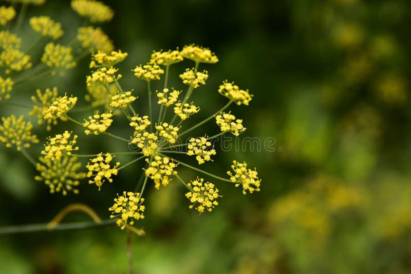 αφηρημένο λουλούδι πεδίων άνηθου βάθους σύνθεσης ρηχό στοκ εικόνες
