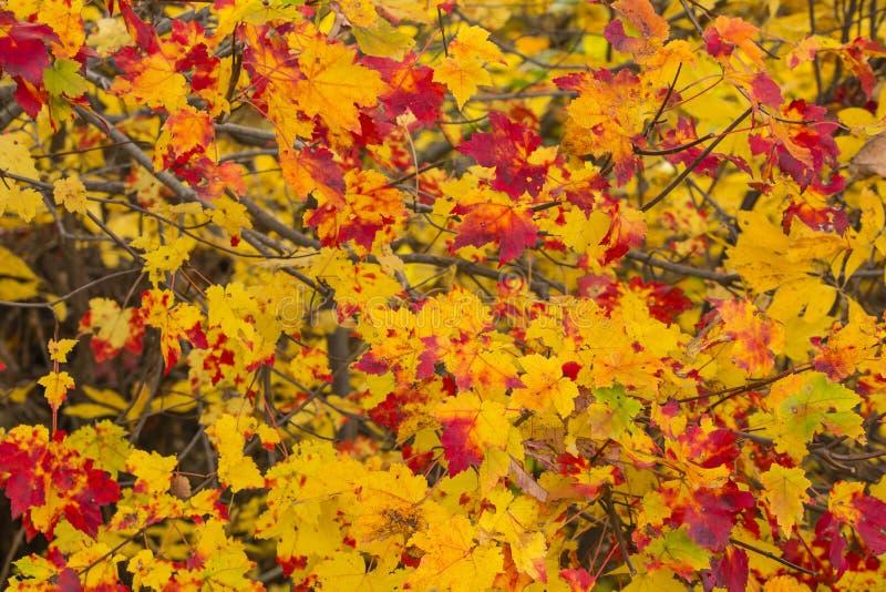 Αφηρημένο υπόβαθρο: Κίτρινα και κόκκινα φύλλα πτώσης στοκ εικόνες