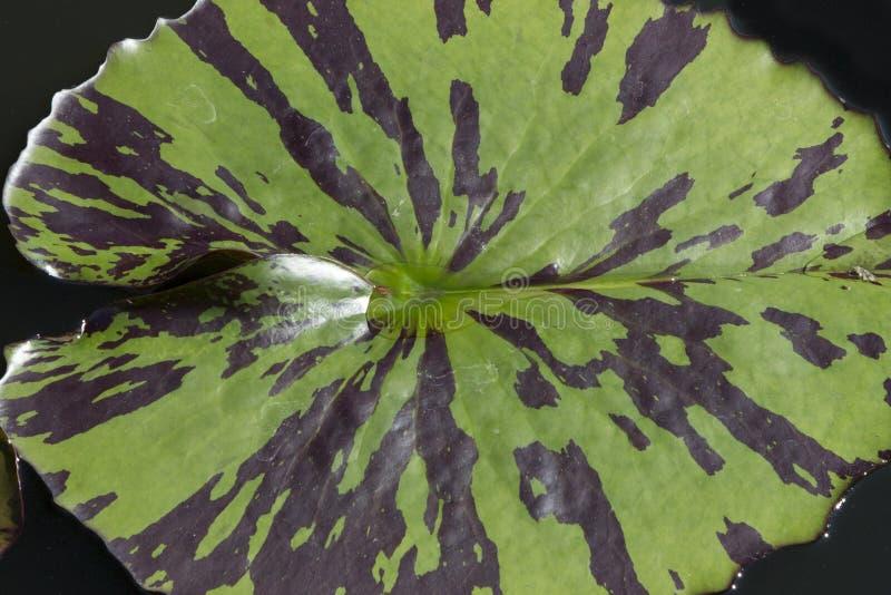Αφηρημένο υπόβαθρο: Μαξιλάρι Waterlily στοκ φωτογραφίες
