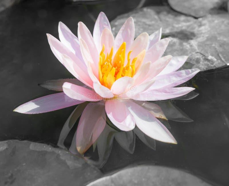 Αφηρημένο όμορφο ροζ waterlily ή λουλούδι λωτού στο Μαύρο και το W στοκ φωτογραφίες