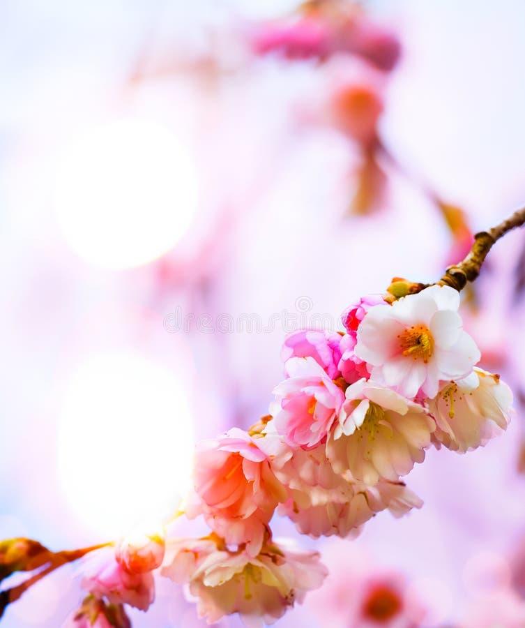 Αφηρημένο όμορφο υπόβαθρο ανοίξεων με το ρόδινο άνθος στοκ φωτογραφία