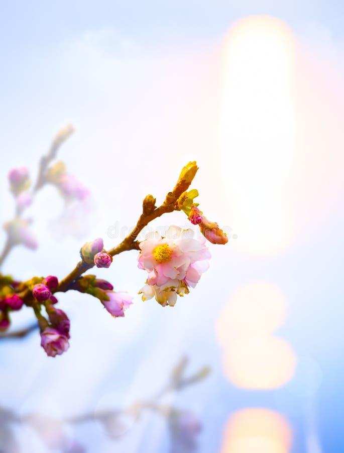 Αφηρημένο όμορφο υπόβαθρο ανοίξεων με το ρόδινο άνθος στοκ φωτογραφίες με δικαίωμα ελεύθερης χρήσης
