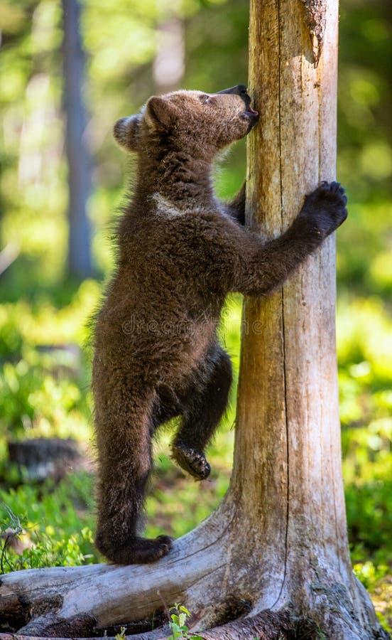 Αφορτε cub που στέκεται τα οπίσθια πόδια και τα γλειψίματά του ένα δέντρο στοκ φωτογραφία με δικαίωμα ελεύθερης χρήσης