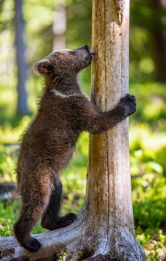 Αφορτε cub που στέκεται τα οπίσθια πόδια και τα γλειψίματά του ένα δέντρο στοκ εικόνες