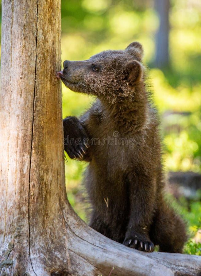 Αφορτε cub που στέκεται τα οπίσθια πόδια και τα γλειψίματά του ένα δέντρο στοκ εικόνα με δικαίωμα ελεύθερης χρήσης