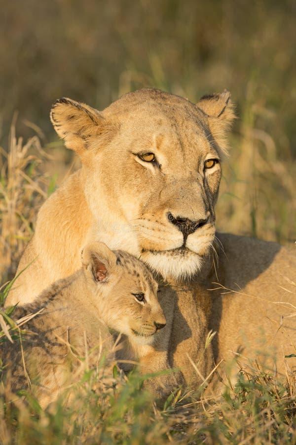 Αφρικανικά μητέρα λιονταριών και Cub (leo Panthera) Νότια Αφρική στοκ φωτογραφία με δικαίωμα ελεύθερης χρήσης