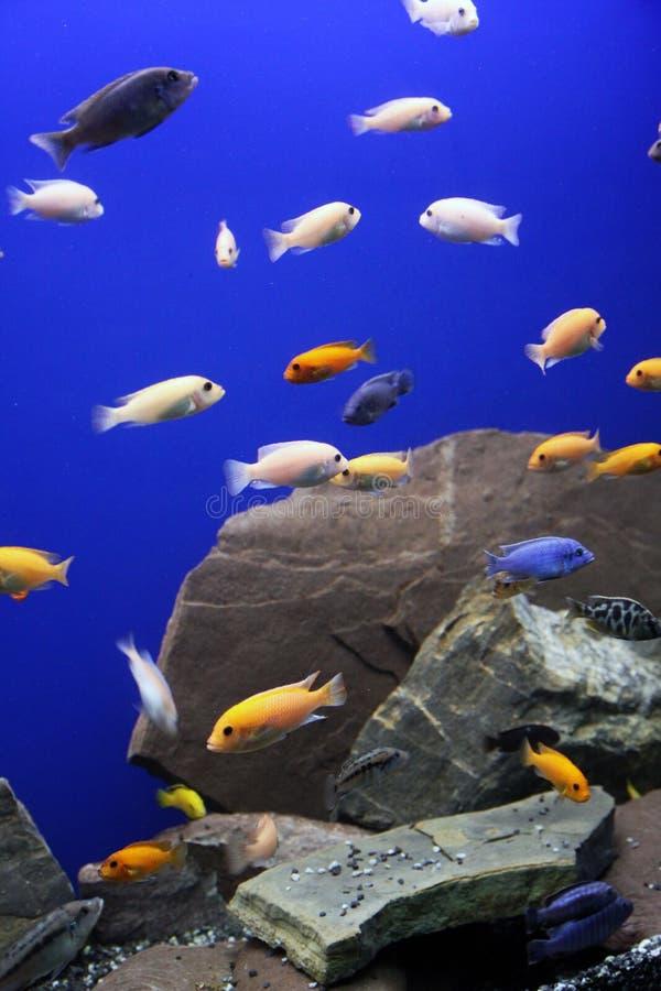 Αφρικανικά τροπικά ψάρια ενυδρείων Cichlid στοκ εικόνες