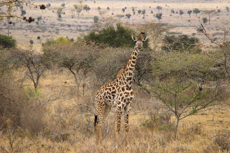 Αφρικανικά giraffes βόσκουν στη σαβάνα άγρια φύση της Αφρικής στοκ φωτογραφίες