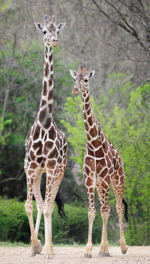 αφρικανικά giraffes δύο στοκ εικόνα