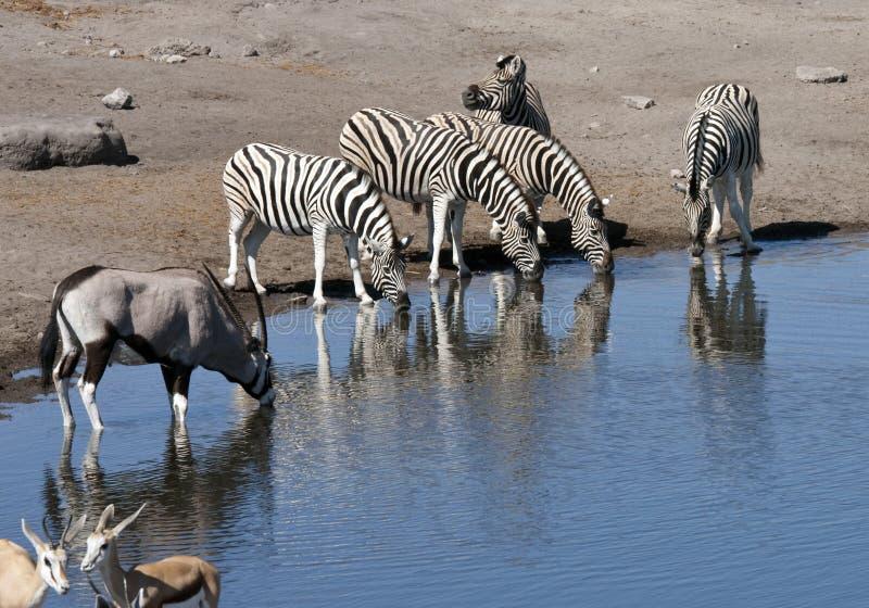 αφρικανική άγρια φύση της Ν&alph στοκ φωτογραφία με δικαίωμα ελεύθερης χρήσης