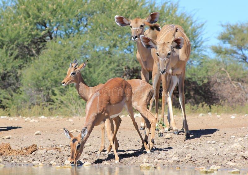 Αφρικανική άγρια φύση - Impala και Kudu - περιέργεια στοκ φωτογραφίες με δικαίωμα ελεύθερης χρήσης