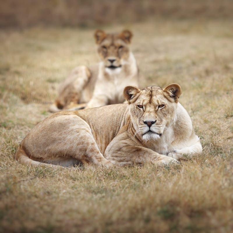 Αφρικανική λιονταρίνα στο ηλιοβασίλεμα που προετοιμάζεται να καταδιώξει στο θήραμα στοκ φωτογραφίες