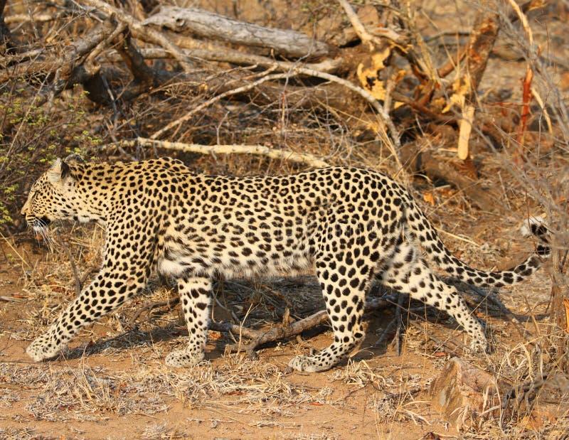 Αφρικανική λεοπάρδαλη στο εθνικό πάρκο Kruger στοκ φωτογραφίες με δικαίωμα ελεύθερης χρήσης