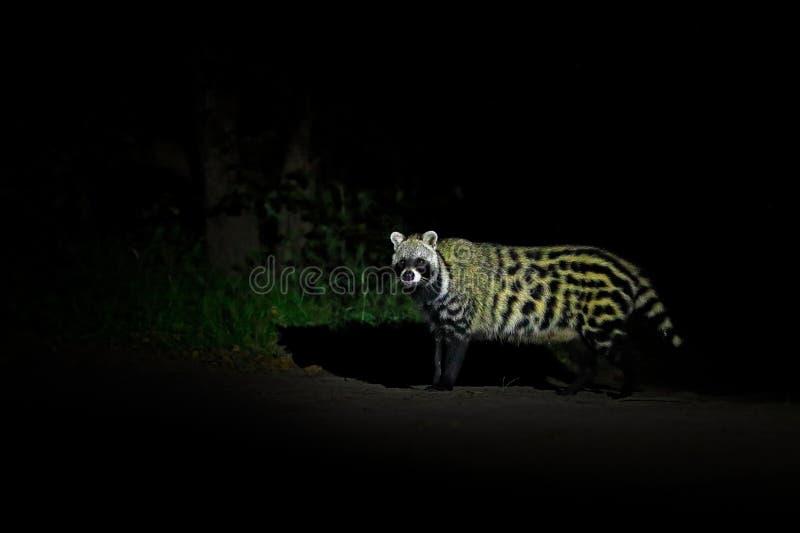 Αφρικανική μοσχογαλή, Civettictis Civetta, στο σκοτεινό δάσος, Moremi, Μποτσουάνα, Αφρική Φύση νύχτας, δέλτα Okavango Όμορφο ζώο, στοκ φωτογραφίες με δικαίωμα ελεύθερης χρήσης