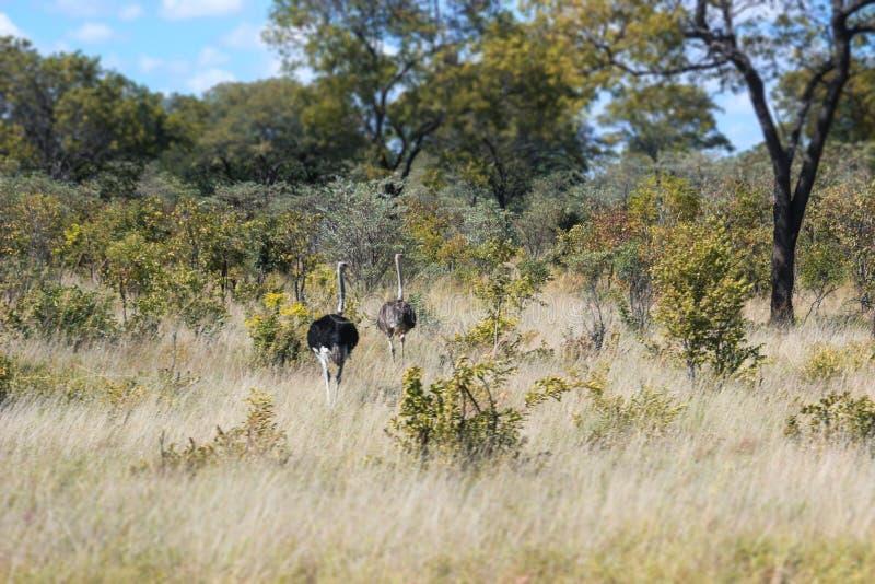 Αφρικανική στρουθοκάμηλος στη σαβάνα της Ναμίμπια στη φύση στοκ εικόνα