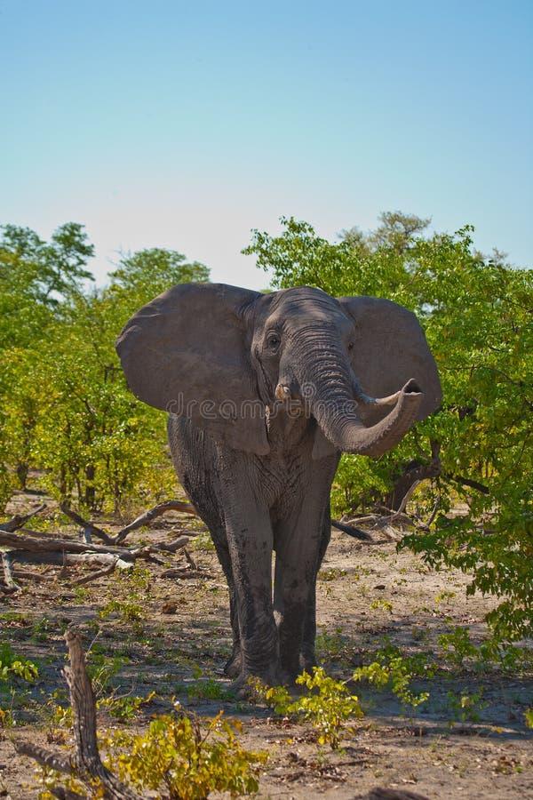 Αφρικανική sham ελεφάντων δαπάνη στοκ εικόνες