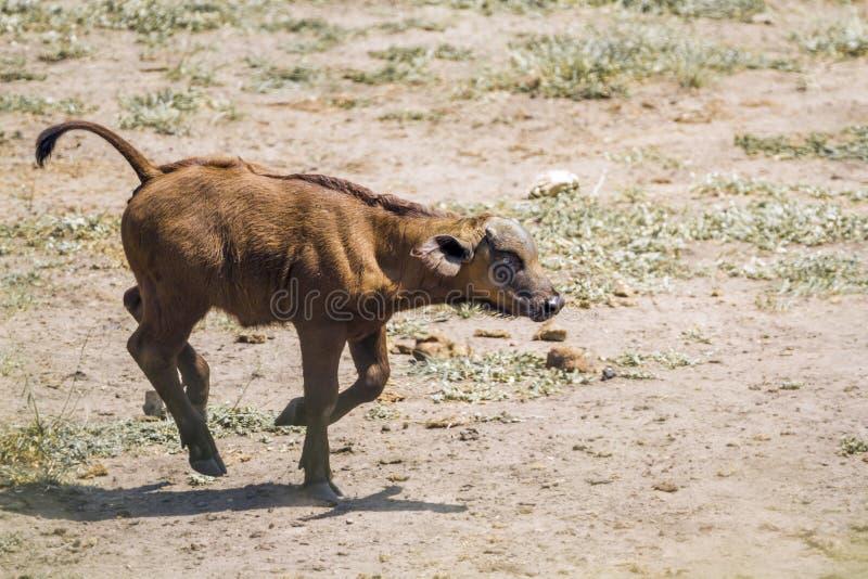 Αφρικανικοί βούβαλοι στο εθνικό πάρκο Kruger, Νότια Αφρική στοκ εικόνα