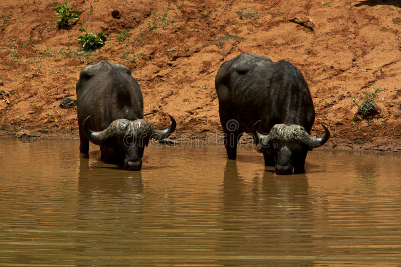 αφρικανικοί βούβαλοι στοκ εικόνες