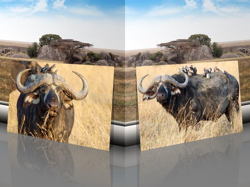 Αφρικανικοί βούβαλοι Syncerus caffer με το αφρικανικό τοπίο σαβανών ελεύθερη απεικόνιση δικαιώματος