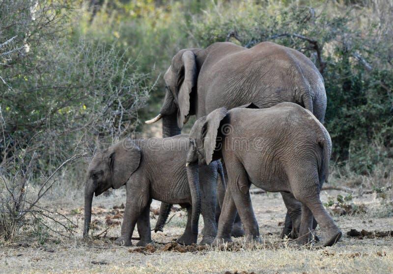 Αφρικανικοί ελέφαντες και μόσχοι στις άγρια περιοχές στοκ φωτογραφίες