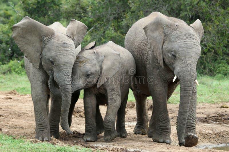 αφρικανικοί φίλοι ελεφά&nu στοκ εικόνες