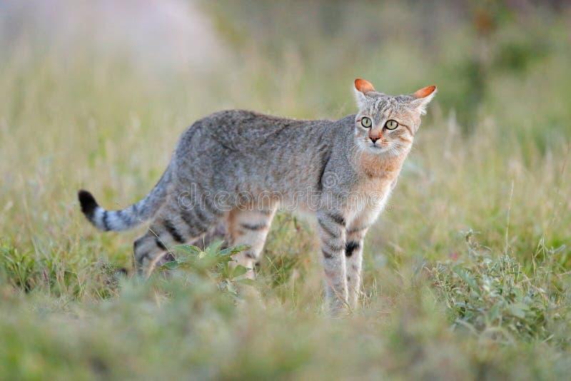 Αφρικανικός αγριόγατος, lybica Felis, αποκαλούμενο επίσης της Εγγύς Ανατολής άγρια γάτα Άγριο ζώο στο βιότοπο φύσης, λιβάδι χλόης στοκ φωτογραφίες με δικαίωμα ελεύθερης χρήσης