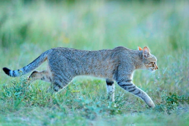 Αφρικανικός αγριόγατος, lybica Felis, αποκαλούμενο επίσης της Εγγύς Ανατολής άγρια γάτα Άγριο ζώο στο βιότοπο φύσης, λιβάδι χλόης στοκ φωτογραφίες