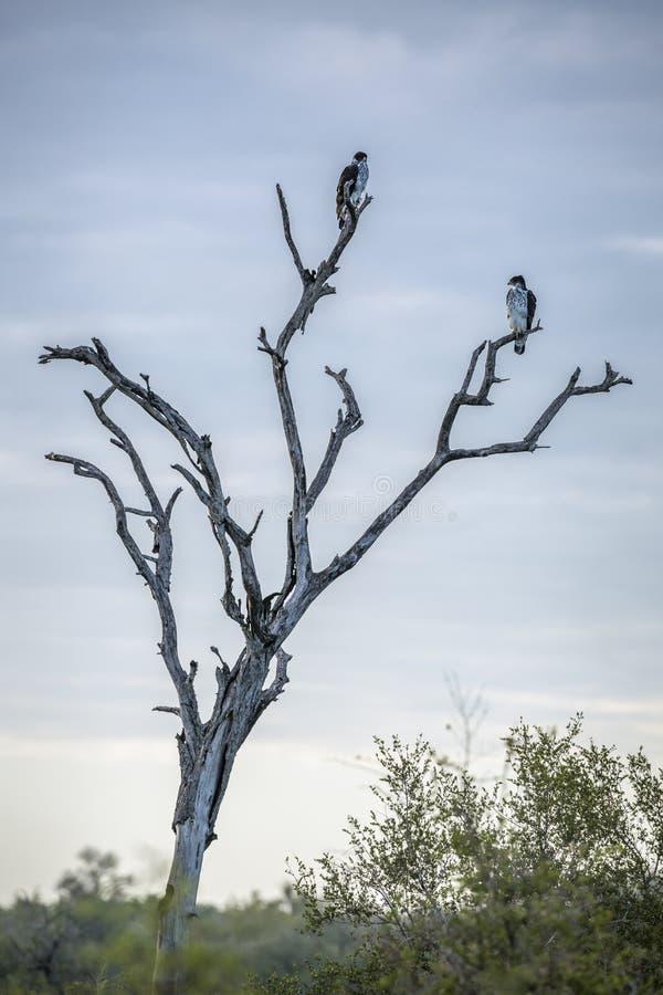 Αφρικανικός γεράκι-αετός στο εθνικό πάρκο Kruger, Νότια Αφρική στοκ εικόνες
